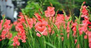 câu chuyện về Hoa Lay ơn -   - hoa lay   n 310x165
