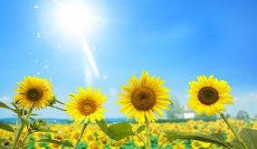 Luôn luôn hướng về phía mặt trời -   - hoa h     ng d    ng 284x165