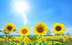 Luôn luôn hướng về phía mặt trời -   - hoa h     ng d    ng