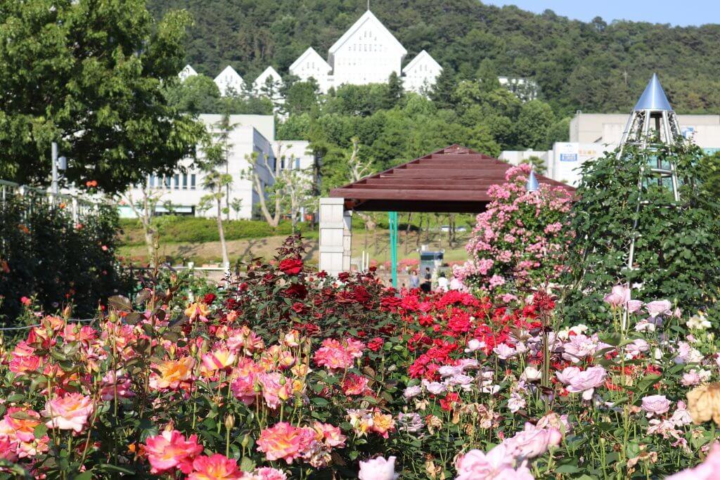 Cho một mùa hè thật xanh -  mùa hè hàn quốc - Hoa hong H  n Bich Khoa blog 1024x683