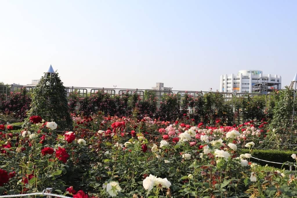 Cho một mùa hè thật xanh -  mùa hè hàn quốc - Hoa hong Han Quoc Bich Khoa  com 1024x683