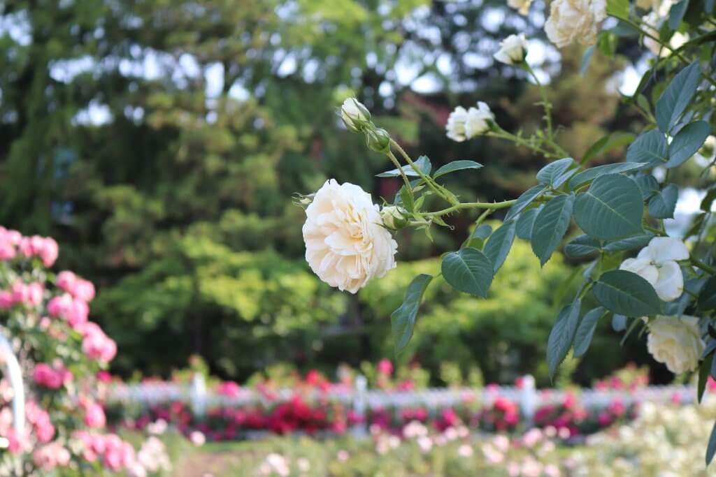 Cho một mùa hè thật xanh -  mùa hè hàn quốc - M  a hoa h   ng Bich Khoa 1024x683