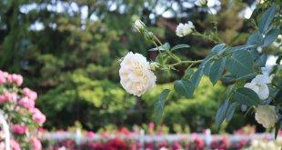 Cho một mùa hè thật xanh -  mùa hè hàn quốc - M  a hoa h   ng Bich Khoa 310x165