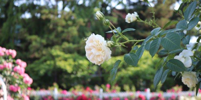 Cho một mùa hè thật xanh -  mùa hè hàn quốc - M  a hoa h   ng Bich Khoa 660x330