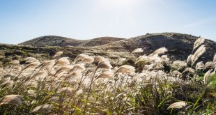 Mùa thu Hàn Quốc, mùa cỏ lau đẹp mơ màng như xứ thần tiên -  mùa thu hàn quốc - hanquoc n  i c    lau bichkhoa blog 310x165